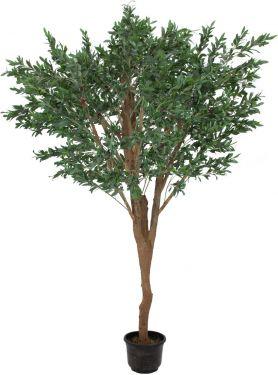 Europalms Kæmpe Oliventræ , 250cm