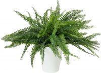 Europalms Fern bush in pot, 62 leaves, 48cm