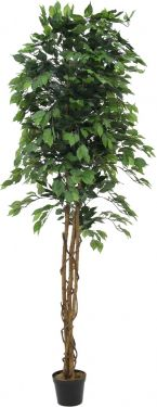 Europalms Variegated Ficus, 240cm